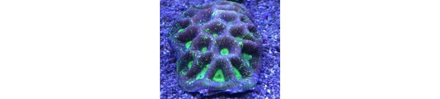 LPS Korallen