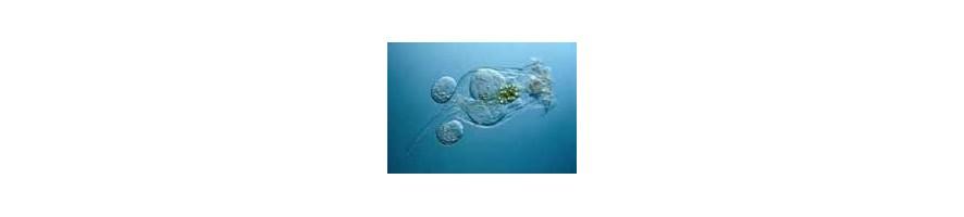 Lebendiges Plankton