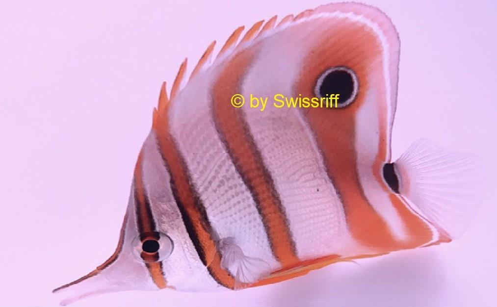 Pinzettfische