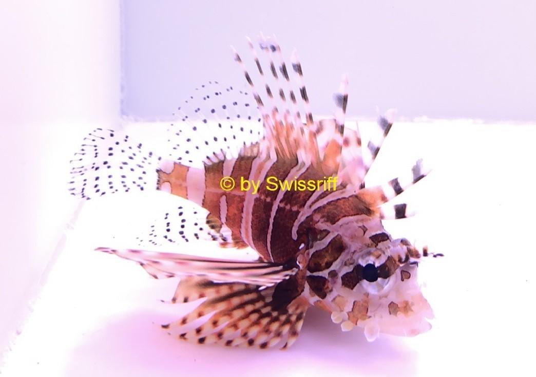 Skorpionsfische