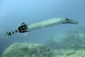 Trompetenfische